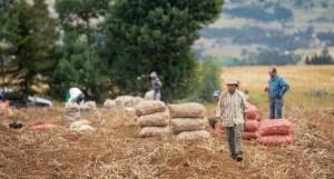 Cultivo de papa en Cundinamarca